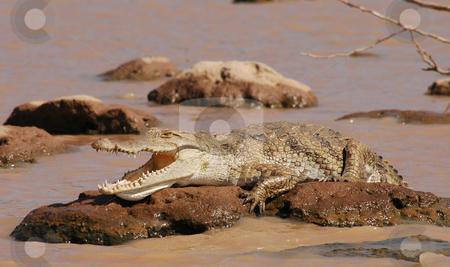 Lazy Crocodile stock photo, Crocodile lying on a rock in lake Baringo by Claudia Van Dijk