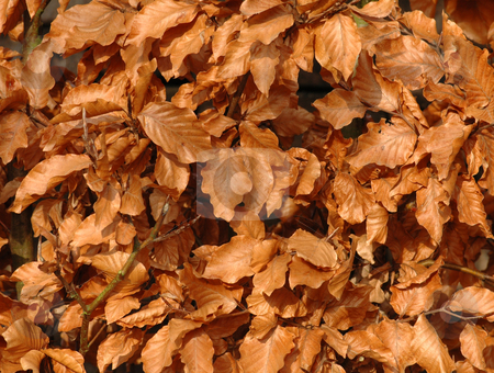 Leafs stock photo, Leafs in the garden from a beech in autumn by Claudia Van Dijk