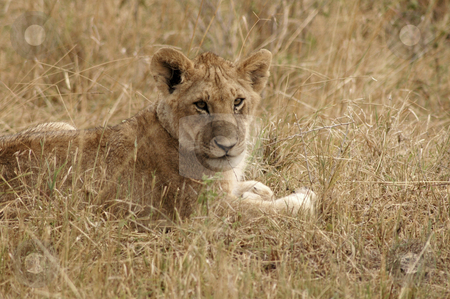 Lion in brush stock photo, Young lion lying in the grass in the Masa Mara by Claudia Van Dijk