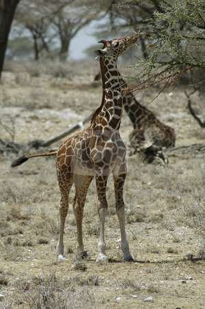 Giraffe stock photo, Young giraffe eating from a tree in the desert by Claudia Van Dijk