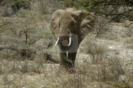 Elephant stock photo, Elephant in the desert of Buffalo Springs, Kenya by Claudia Van Dijk