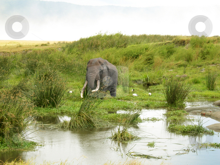 Elephant stock photo, Elephant standing in the grass in the Nkorongoro krater by Claudia Van Dijk