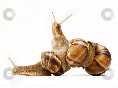 Three snails stock photo, Three snails macro crawling on top of each other by Adrian Costea