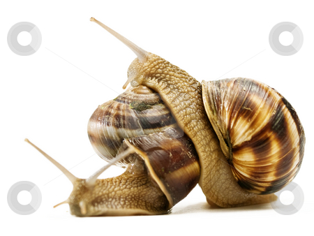 Two snails stock photo, Two snails macro crawling on top of each other by Adrian Costea