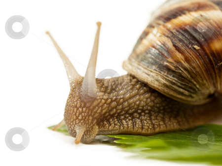 Close up of Snail stock photo, Snail macro on a lavage stem crawling by Adrian Costea