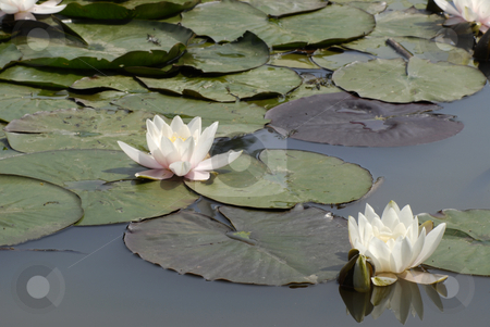 Water Lily stock photo, Water lily with green leafs in a pond by Claudia Van Dijk