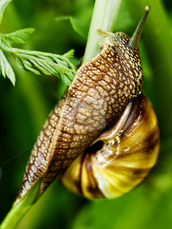 Snail stock photo, Snail macro on a grass stem crawling by Adrian Costea