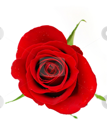 Red rose stock photo, Red rose blossom isolated on white background with dew drops by Elena Elisseeva