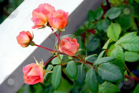 Pink roses bush stock photo, Pink roses in a garden by Elena Elisseeva