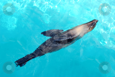 Seal stock photo, Seal swimming happily in a blue pool by Elena Elisseeva