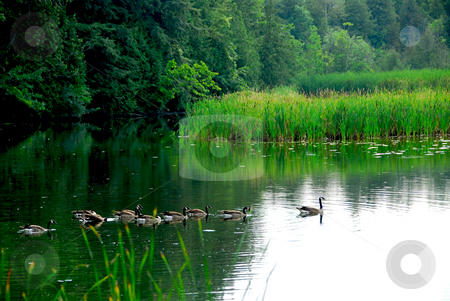 River landscape stock photo, River landscape with flock of canada geese swimming in still water by Elena Elisseeva