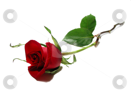 Single Red rose white background stock photo, Beautiful single red rose isolated on white background by Elena Elisseeva