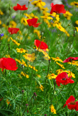 Poppies in a garden stock photo, Poppies in a summer garden by Elena Elisseeva