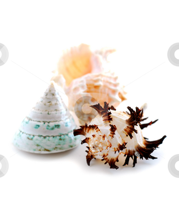 Sea shells on white stock photo, Sea shells on white background by Elena Elisseeva