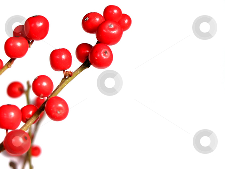Red christmas berries on white stock photo, Berry tree christmas decoration isolated on white background by Elena Elisseeva