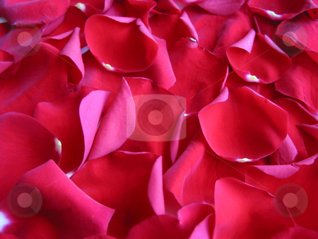 Red rose petals background stock photo, Background of rose petals by Elena Elisseeva