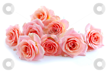 Pink roses on white stock photo, Pile of pink rose blossoms on white background by Elena Elisseeva