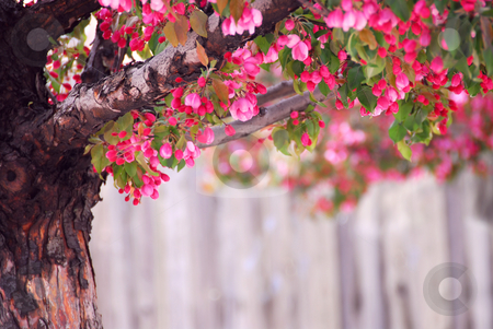 Apple tree stock photo, Blooming pink apple tree in spring orchard by Elena Elisseeva