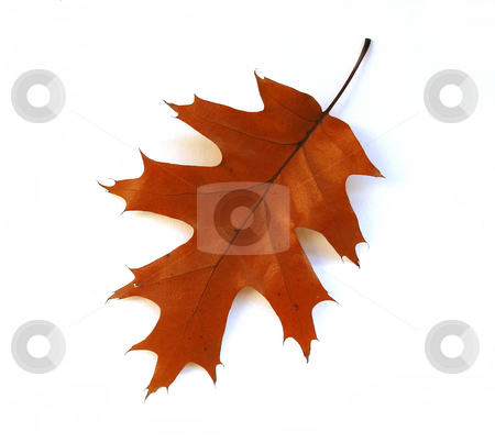 Fall oak leaf on white background stock photo, Isolated fall oak leaf on white background by Elena Elisseeva