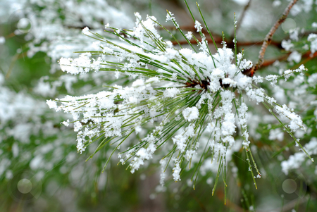 Snowy pine needles stock photo, Pine needles with snowflakes; single snowflakes are visible at full size. by Elena Elisseeva