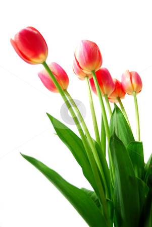 Pink tulips stock photo, Pink tulips isolated on white background by Elena Elisseeva