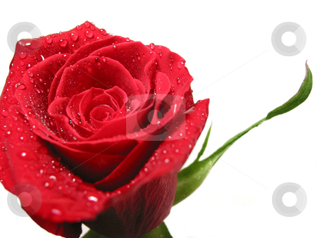 Red rose with water droplets stock photo, Red rose on white background covered with water droplets by Elena Elisseeva