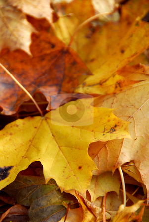 Autumn leaves stock photo, Background of fall maple leaves covering the ground by Elena Elisseeva