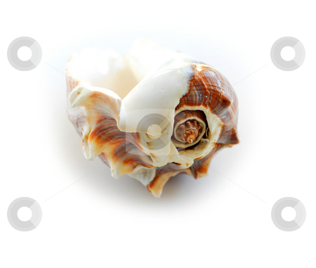 Sea shell 2 stock photo, Sea shell on white background by Elena Elisseeva