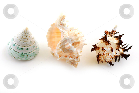 Sea shells stock photo, Three sea shells isolated on white background by Elena Elisseeva