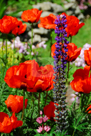 Spring garden with poppies stock photo, Spring garden with bid red Island poppies by Elena Elisseeva