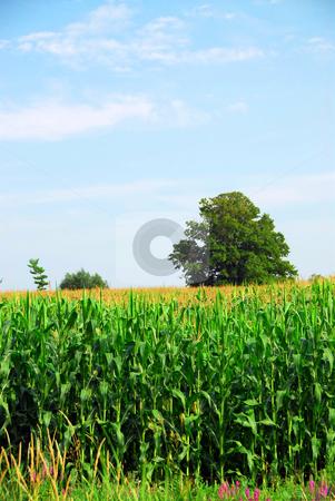 Corn field stock photo, Tall green corn growing in a field by Elena Elisseeva