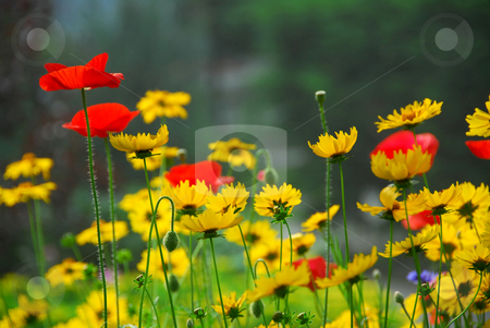 Summer garden stock photo, Red poppies and yellow coreopsis in a summer garden by Elena Elisseeva