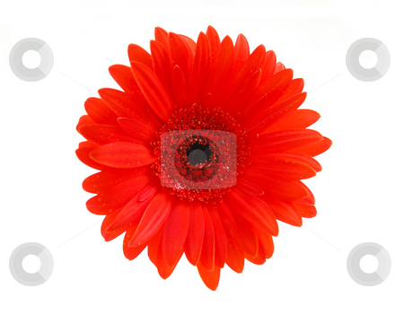 Red gerbera flower stock photo, Red gerbera flower on white background, top view by Elena Elisseeva