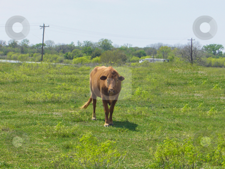Cow stock photo, A lone cow out in a grassy field by Kevin Tietz