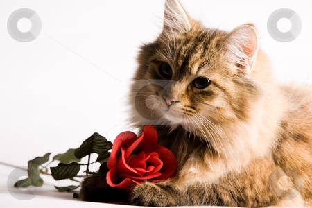 Young cat is asking stock photo, Young awe cat is asking something for valentines day. by Frenk and Danielle Kaufmann