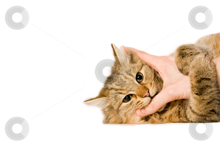 Young cat is hugging the hand stock photo, Young beaufiful cat is laying down on a white background hugging the hand. by Frenk and Danielle Kaufmann