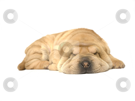 Sleeping sharpei puppy stock photo, A young sharpei pup sleeping on the studio floor by Frenk and Danielle Kaufmann