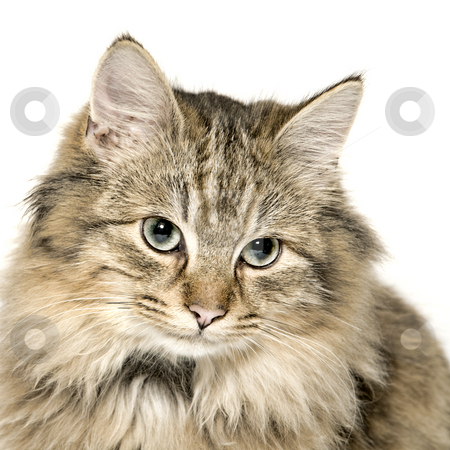Very cute long haired kitten stock photo, Studio portrait of a cuted mixed breed long haired kitten by Frenk and Danielle Kaufmann