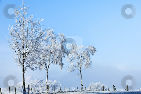 Winter landscape three high trees full of ice stock photo, Three high trees full of ice in a winter landscape by Frenk and Danielle Kaufmann