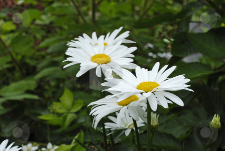 Daisies stock photo, Beautiful white daisies with green leafs in the garden by Claudia Van Dijk