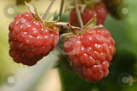 Raspberry stock photo, Ripe red raspberry hanging on the plant by Claudia Van Dijk