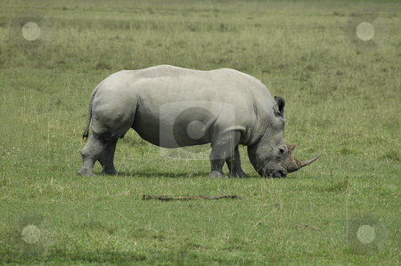 Rhinoceros on plain stock photo, A white Rhinoceros eating grass in Africa by Claudia Van Dijk