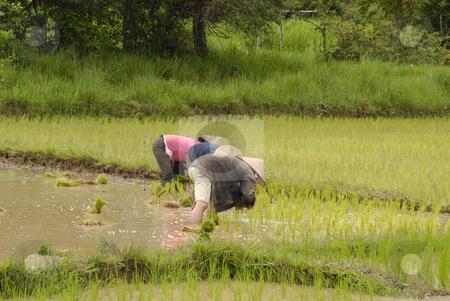 People working on the ricefields stock photo, People working on the ricefields in laos by Claudia Van Dijk