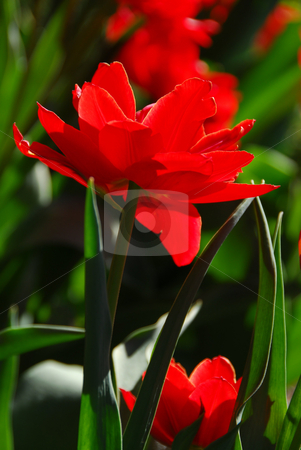 Red tulip close stock photo, Red tulip closeup by Elena Elisseeva