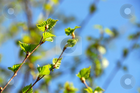 Spring green leaves stock photo, Natural background with young green spring leaves by Elena Elisseeva