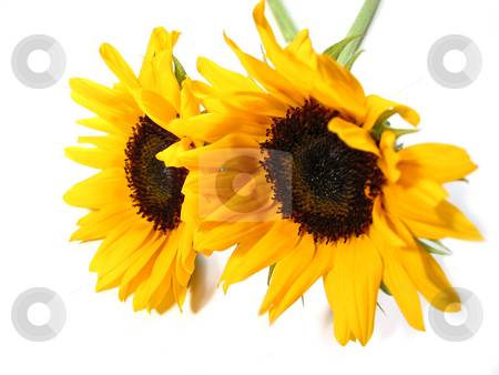 Sunflowers on white stock photo, Two sunflowers isolated on white background by Elena Elisseeva