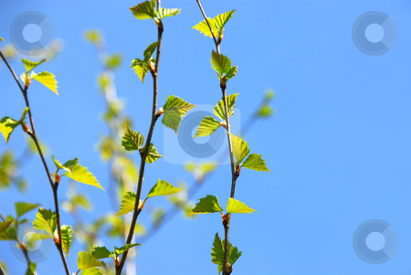 Spring tree stock photo, Branches of a birch tree with fresh new leaves in the spring by Elena Elisseeva