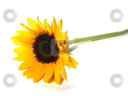 Sunflower single stock photo, Single sunflower isolated on white background by Elena Elisseeva