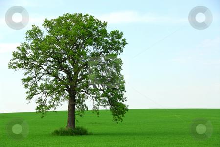 Single tree summer stock photo, Single tree in summer horizontal by Elena Elisseeva