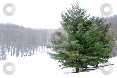 Winter landscape stock photo, Pine trees in a snowy field, winter forest in background by Elena Elisseeva